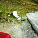 Rumunia - bezpański pies pod szczytem Trasy 7C