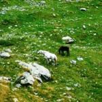 Rumunia- dzikie konie pod szczytem Trasy 7C